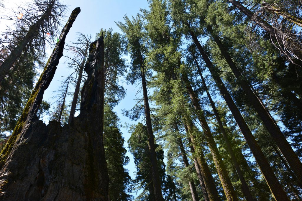 dead-giant-tunnel-tree,-Tuolumne-Grove-Trailhead